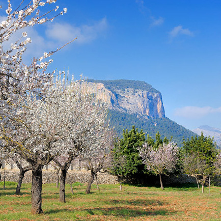 almond-trees-mallorca-web