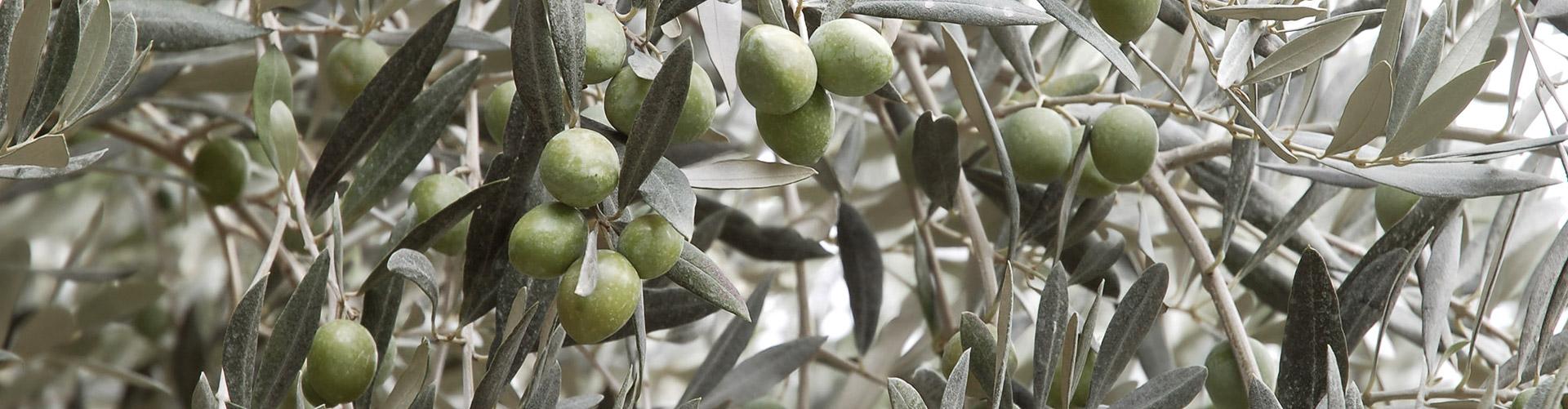 slide-oliven